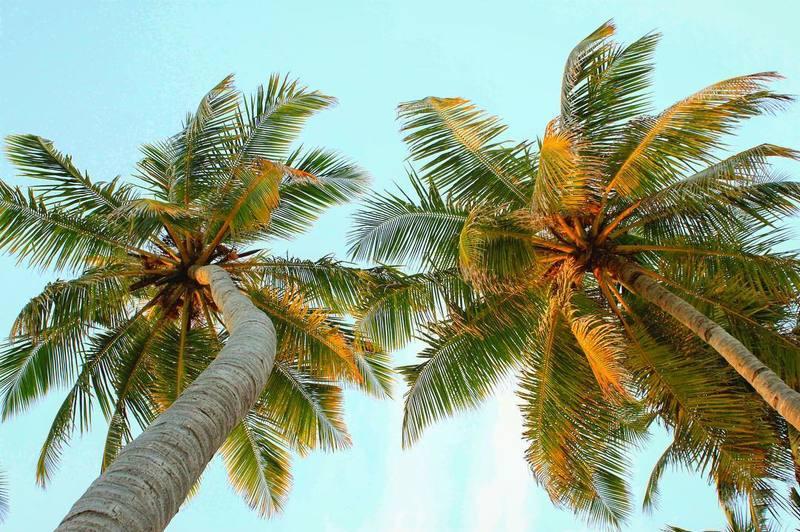 beach-maafushi-maldives-palm-trees