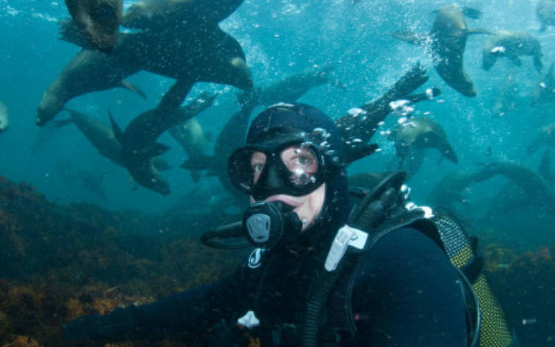 diver surrounded by seals