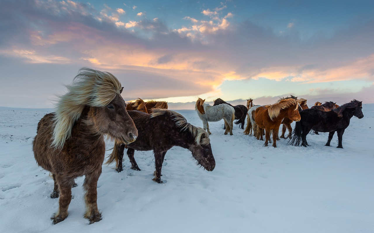 A herd of Icelandic horses standing in the snow